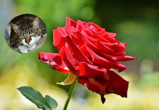 rose-du-chat