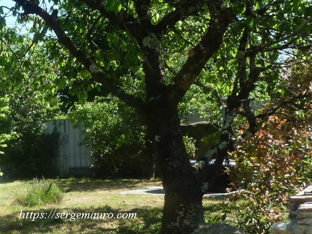 mon-cerisier-serge-mauro